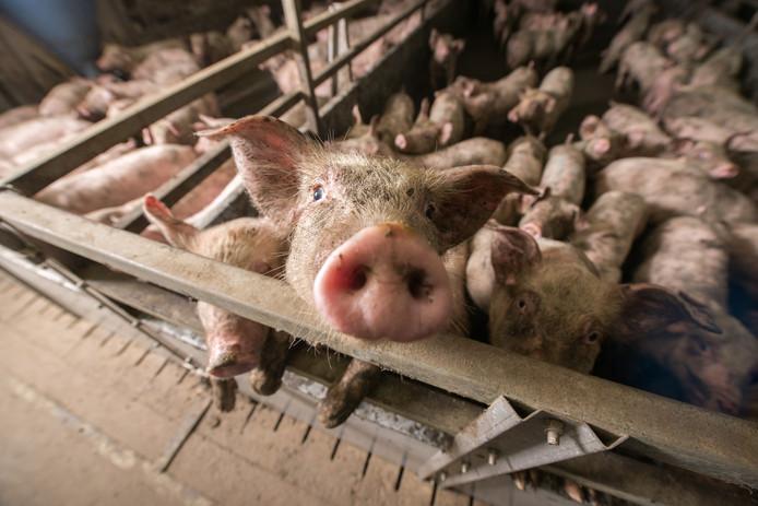 Biggen op een varkensfokkerij