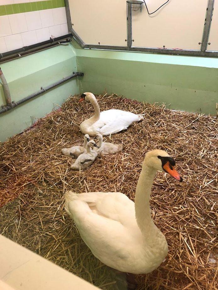 De Ypenburgse zwaan Anthon en zijn gezin in de vogelopvang.