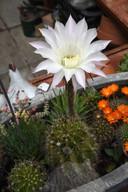 Bloeiende cactussen in de kas langs het tuinpad.