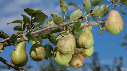 Zoetere peren en appels dankzij vele zonneschijn