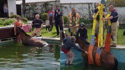Paard komt in zwembad van buren terecht