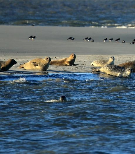 Vergeleken met vroeger komen er nog maar mondjesmaat zeehonden in het rivierengebied