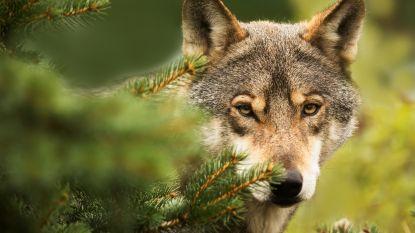 Duitsland maakt het eenvoudiger om op wolven te schieten