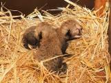 Cheetah-tweeling geboren in Safaripark Beekse Bergen
