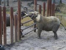 Ouwehand laat olifant Sabi inslapen