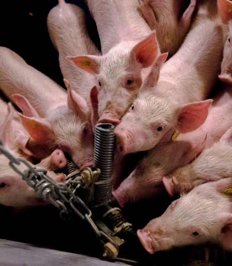 Afrikaanse varkenspest: geen ophokplicht voor Nederlandse varkens