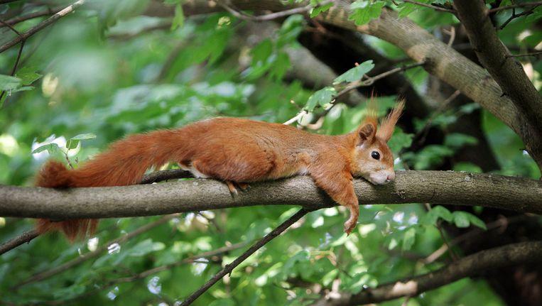 Een eekhoorn heeft een jonge wandelaarster in het Duitse Bottrop zo lang achtervolgd dat ze wanhopig de politie belde. Beeld ap