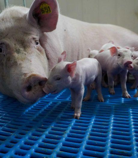 Lieshoutse varkenshouder te laat met juiste stukken; nu hopen op een betalingsregeling voor 108.000 euro