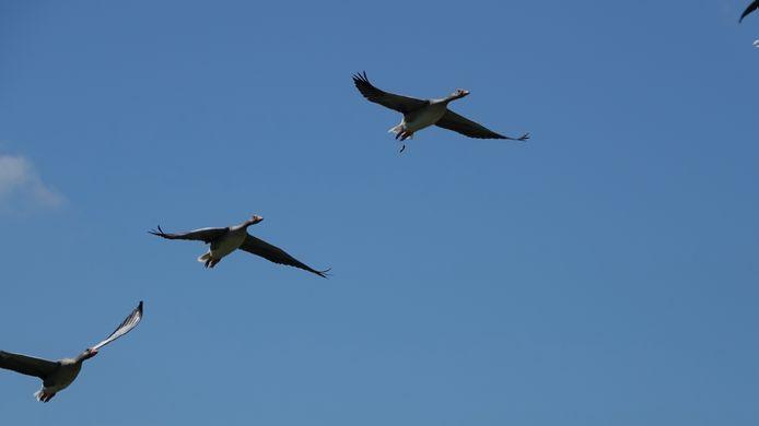 FORMATIEVLIEGEN Ze zijn vast nog niet aan hun tocht naar het zuiden begonnen, maar toch vliegen deze ganzen boven Colijnsplaat keurig in formatie naar elders.