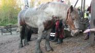 Drie uur zwoegen om pony uit beerput te krijgen