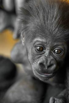 VIDEO. Zo schattig is gorillababy Thandie half jaar na geboorte