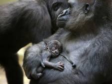 Pasgeboren babygorilla Artis houdt  familie de hele dag bezig