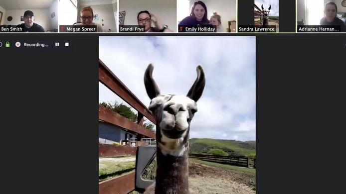 Bij Sweet Farm kun je nu een geit of lama laten meebellen met de Goat 2 Meeting