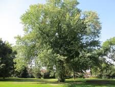 Kappen van bomen wordt  minder star in Apeldoorn