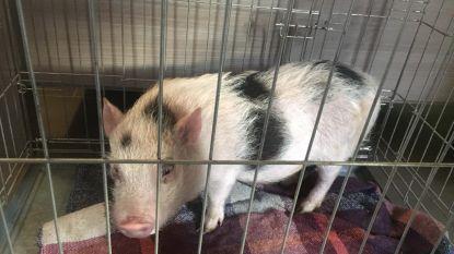 Gezocht: eigenaar van dit schattig verdwaald varkentje