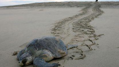 Meer dan 100 bedreigde zeeschildpadden sterven op Mexicaans strand