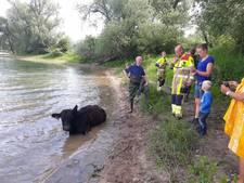 Koe breekt rug tijdens woeste vrijpartij