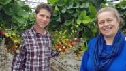 Aardbeienbedrijf Schrijvers denkt aan uitbreiding van wijngaard (want ja, dat doen ze ook)