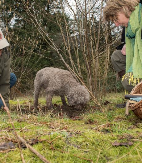 Truffelhond Fredo kwispelt vrolijk door de Wageningse truffelgaard