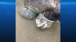 VIDEO. Schildpad sterft door plastic zak
