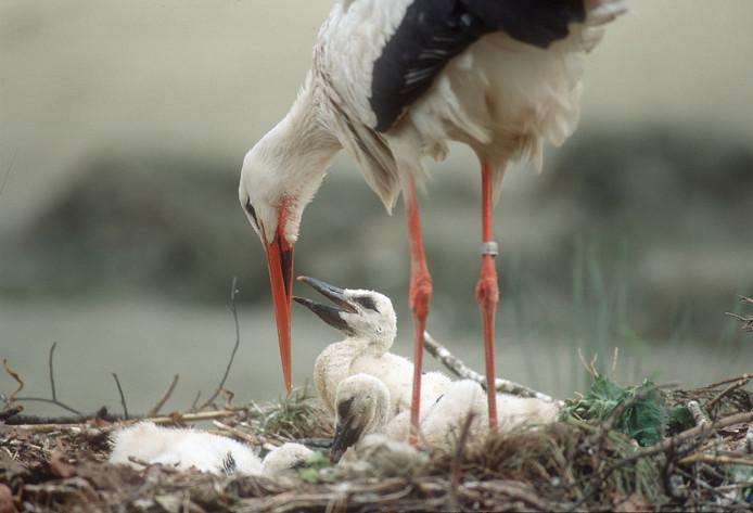 Ooievaar op het nest met jong