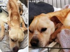 """Une chienne retrouvée agonisante dans un appartement à Wavre: """"Ses chances de survie sont maigres"""""""