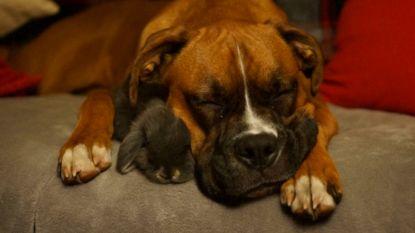 Deze hond is beste vrienden met een nest konijntjes (en schattiger wordt het vandaag niet)