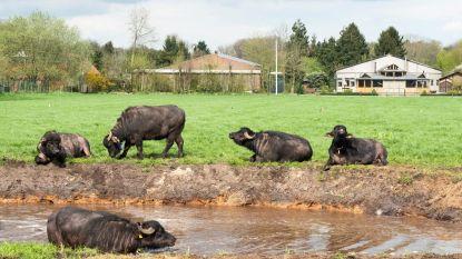 Hier zijn waterbuffels koning