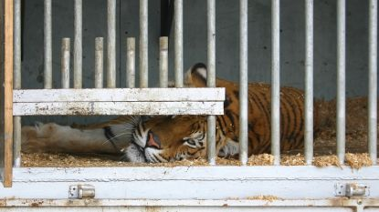 Tijger bijt verzorger dood in Chinese dierentuin