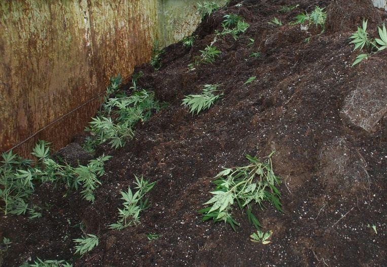 (archiefbeeld) de plantjes werden in beslag genomen en vernietigd
