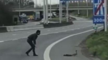 """VIDEO. Kortrijkzaan redt mama eend en kroost van moordend verkeer op R8: """"Ze waren helemaal in paniek"""""""
