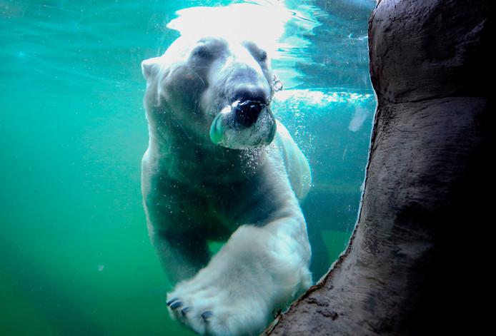 IJsbeer Bill voelt zich, in de dierentuin van het Duitse Gelsenkirchen, als een vis in het water. Zeker nu de temperaturen onder nul zijn gedaald is hij in zijn element. Foto Roland Weihrauch
