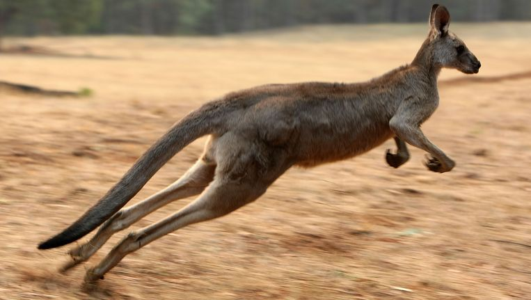 Een kangoeroe. Beeld AFP