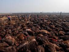 Au Népal, des sacrifices rituels massifs d'animaux font polémique