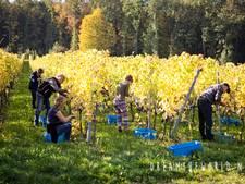 Druiven plukken én wijntjes proeven in het Geuldal (Zuid-Limburg)