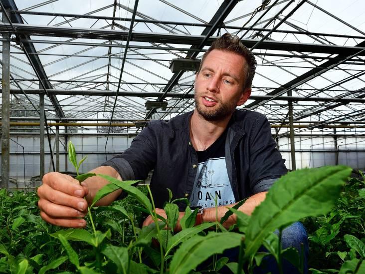 Man uit Zundert vond prijswinnende thee uit die wél op onze bodem wil groeien