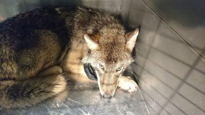 """Bouwvakkers redden """"hond"""" uit bevroren rivier. In dierenkliniek blijkt het om jonge wolf te gaan"""