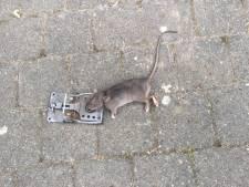 Rattenplaag in Eindhoven-Noord: 'Ze komen via de afvoerbuis van de wasmachine omhoog'