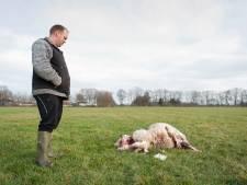 Boer weet het zeker, wolf grijpt vijf schapen: 'Het liefst schiet ik dat beest natuurlijk voor z'n kop'