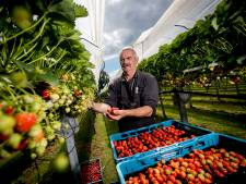 Veluwse kwekers van aardbeien en bloembollen likken hun wonden na extreme temperaturen