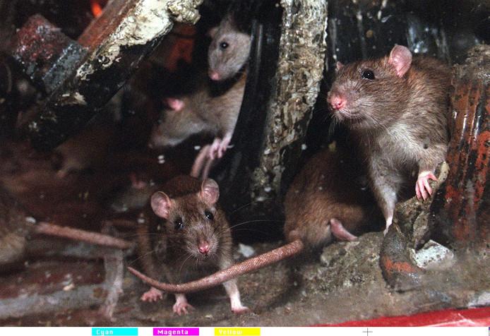 Ratten in het riool van Emmen.