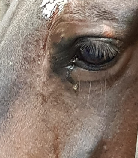 Hartverscheurende foto: paard 'huilt' na verliezen veulen bij geboorte