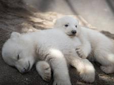 Eerste beelden van pluizige ijsbeertweeling in Ohio