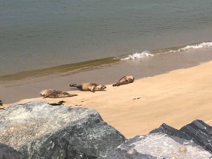 Zeehonden die uitrusten nabij het Klein Strand.