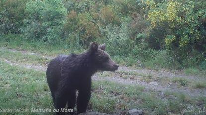 Voor het eerst in 150 jaar bruine beer gespot in Noord-Spaans natuurpark