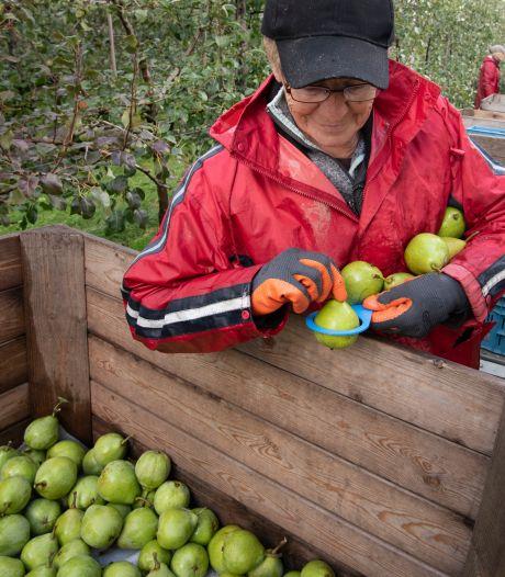 De laatste Betuwse appels en peren van het seizoen worden geplukt: 'Ze zijn lekker hoor'