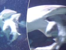 Straf beeld: grotere soortgenoot eet haai op in Antwerpse ZOO