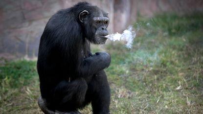 Kettingrokende chimpansee is nieuwe topattractie in zoo van Noord-Korea
