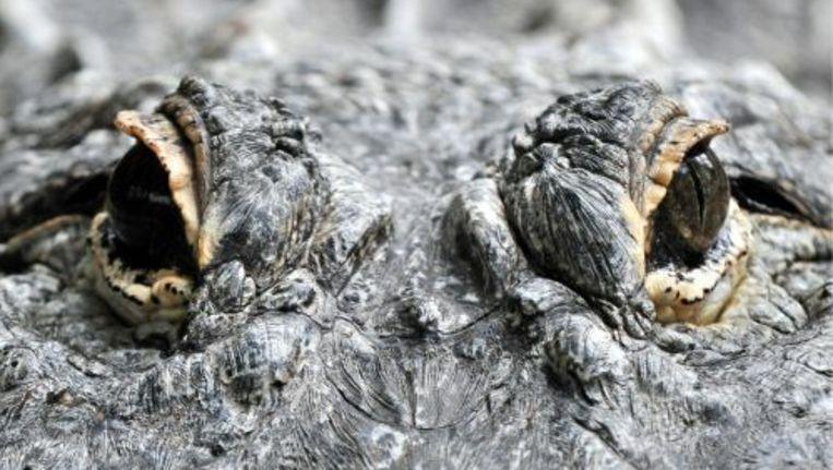 Zeker vierhonderd krokodillen zijn ontsnapt uit een natuurreservaat in de Mexicaanse deelstaat Veracruz. ANP Beeld