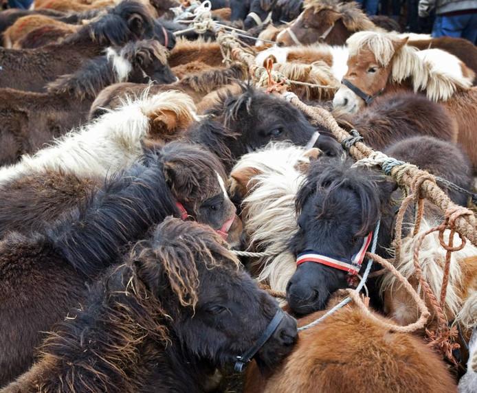De paardenmarkt in Hedel is een van de grootste van Europa. foto KOEN SUYK/ANP